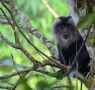 Lion Tailed Macaque in Gavi