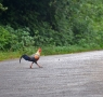 While returning we saw this wild rooster crossing the road